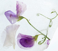 Sweet peas two